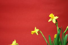 Insieme di bei narcisi gialli su fondo rosso fotografie stock