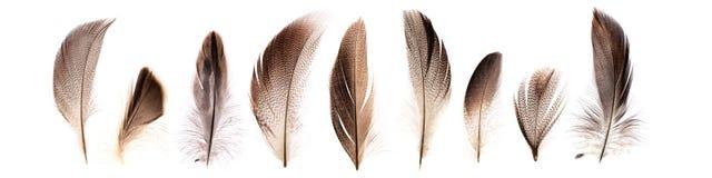 Insieme di belle piume di uccello fragili del fagiano isolate Fotografia Stock