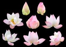 Insieme di bello floweSet rosa del loto di bello flo rosa del loto Fotografie Stock