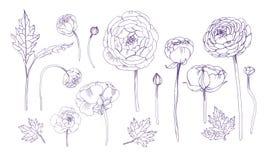 Insieme di elementi floreale del profilo disegnato a mano Raccolta con i fiori del ranunculus illustrazione vettoriale