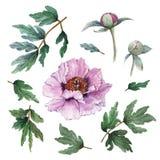 Insieme di elementi floreale dipinto a mano dei fiori L'illustrazione botanica dell'acquerello della peonia fiorisce, germoglia e illustrazione di stock