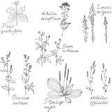 Insieme di erbe del disegno a tratteggio con i nomi latini illustrazione vettoriale