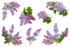 Insieme di fioritura dei rami lilla porpora, isolato su fondo bianco Immagine Stock Libera da Diritti