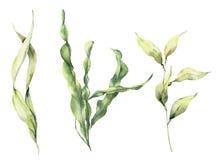 Insieme di laminaria dell'acquerello L'illustrazione floreale subacquea dipinta a mano con le alghe lascia il ramo isolato su bia royalty illustrazione gratis