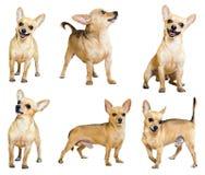 Insieme di Mini Toy Terriers, isolato Fotografie Stock Libere da Diritti