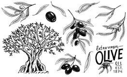 Insieme di olio d'oliva e del ramo degli alberi Prodotto vegetariano organico in bottiglia Pianta verde per la dieta sana Frutta  Fotografia Stock