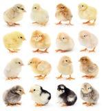 Insieme di piccoli polli Fotografia Stock