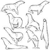 Insieme di schizzo del leone marino Illustrazione del fumetto della guarnizione Fotografia Stock