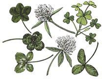 Insieme di vettore del trifoglio Pianta selvatica e foglie isolate su fondo bianco Illustrazione incisa di erbe di stile dettagli Fotografia Stock