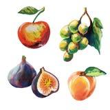 Insieme di vettore della frutta colorata del gesso Fotografia Stock Libera da Diritti