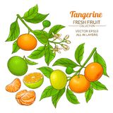 Insieme di vettore della frutta del mandarino Fotografia Stock