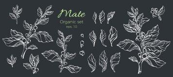 Insieme di vettore della pianta bianca disegnata a mano del compagno Natura su fondo nero Fotografia Stock