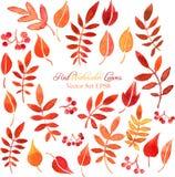 Insieme di vettore delle foglie e delle bacche di rosso Immagini Stock