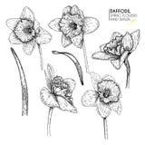 Insieme disegnato a mano dei fiori del narciso o del narciso Arte incisa vettore Fiori del giardino della primavera Schizzo di Mo Fotografia Stock