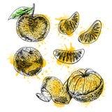 Insieme disegnato a mano dell'acquerello del mandarino Schizzo di vettore royalty illustrazione gratis