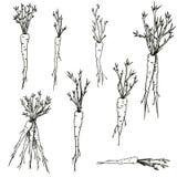 Insieme disegnato a mano di clipart delle carote di vettore delle verdure e delle radici in bianco e nero illustrazione di stock