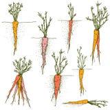Insieme disegnato a mano di clipart delle carote di vettore delle verdure variopinte e delle radici illustrazione vettoriale