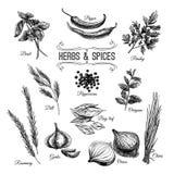 Insieme disegnato a mano di vettore con le erbe culinarie e Fotografia Stock Libera da Diritti