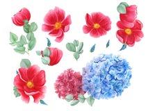 Insieme floreale con gli anemoni rossi, ortensia rossa e blu e foglie verdi, pittura dell'acquerello royalty illustrazione gratis