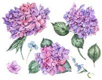 Insieme floreale di estate dell'acquerello dell'ortensia di fioritura d'annata royalty illustrazione gratis
