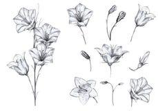 Insieme floreale disegnato a mano degli oggetti isolati con i fiori grafici di campanula, gambo, germogli su fondo bianco illustrazione vettoriale