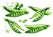 Insieme fresco verde dei piselli, illustrazione disegnata a mano dell'acquerello, isolata su fondo bianco royalty illustrazione gratis