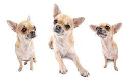 Insieme piacevole del cane della chihuahua dei ritratti isolati fotografia stock libera da diritti
