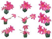 Insieme rosa di Lily Zephyranthes della pioggia isolato Fotografia Stock