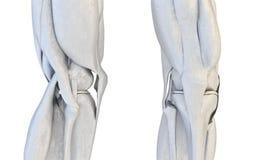 Insieme umano del giunto di ginocchio illustrazione 3D illustrazione vettoriale