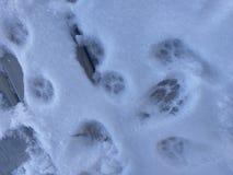 Insiemi delle piste del gatto nella neve sul portico preso il 17 gennaio 2018 Fotografia Stock Libera da Diritti
