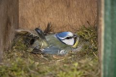 Insight into a hive of a blue tit Royalty Free Stock Image