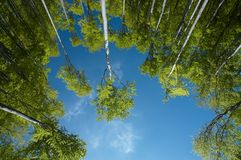 Insight into the treetops. Looking up into the crowns of beech trees Stock Images
