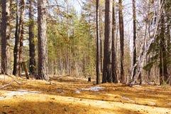 Insnöad smältning skogen royaltyfria bilder