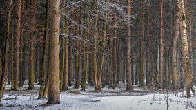 Insnöat skogen
