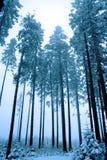 Insnöat träna Spruce trees i vinter Arkivfoto