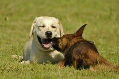 Insolação, saúde dos animais de estimação no verão Labrador Jogo dos cães um com o otro Como proteger seu cão do superaquecimento foto de stock