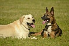Insolação, saúde dos animais de estimação no verão Labrador Jogo dos cães um com o otro Como proteger seu cão do superaquecimento foto de stock royalty free