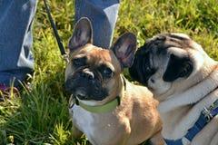 Insolação, saúde dos animais de estimação no verão Pug-cão novo e buldogue francês Como proteger seu cão do superaquecimento O tr imagens de stock royalty free