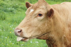 Insolent Cow Royalty Free Stock Image