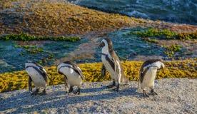 Inspección de la mañana del pingüino Imagenes de archivo