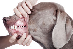 Inspección de los dientes de perro en el fondo blanco. Imágenes de archivo libres de regalías