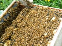 Inspección del top de una colmena de la abeja de Langstroth Imagenes de archivo
