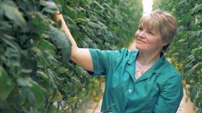 Inspecionar o processo de plantas de tomate guardou por uma senhora de sorriso Conceito moderno da agricultura video estoque