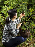 Inspecting Berries during the Harvest Stock Photo