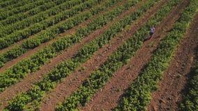 Inspector que camina entre los arbustos de fresa en el campo, visión aérea almacen de video