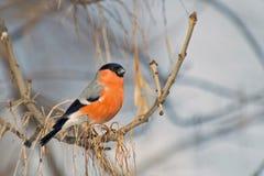 Bullfinch en una alta rama Fotos de archivo libres de regalías