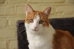 Feline. Arabian companion redhead huntress stock photos