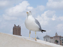 Inspirational image of european herring gull (Larus argentatus). Looking leftside with european city in the background stock photo