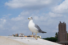 Inspirational image of european herring gull (Larus argentatus). Looking leftside with european city in the background stock photos