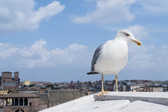 Inspirational image of european herring gull (Larus argentatus). European herring gull (Larus argentatus) is watching you while statying on the roof of european stock photography